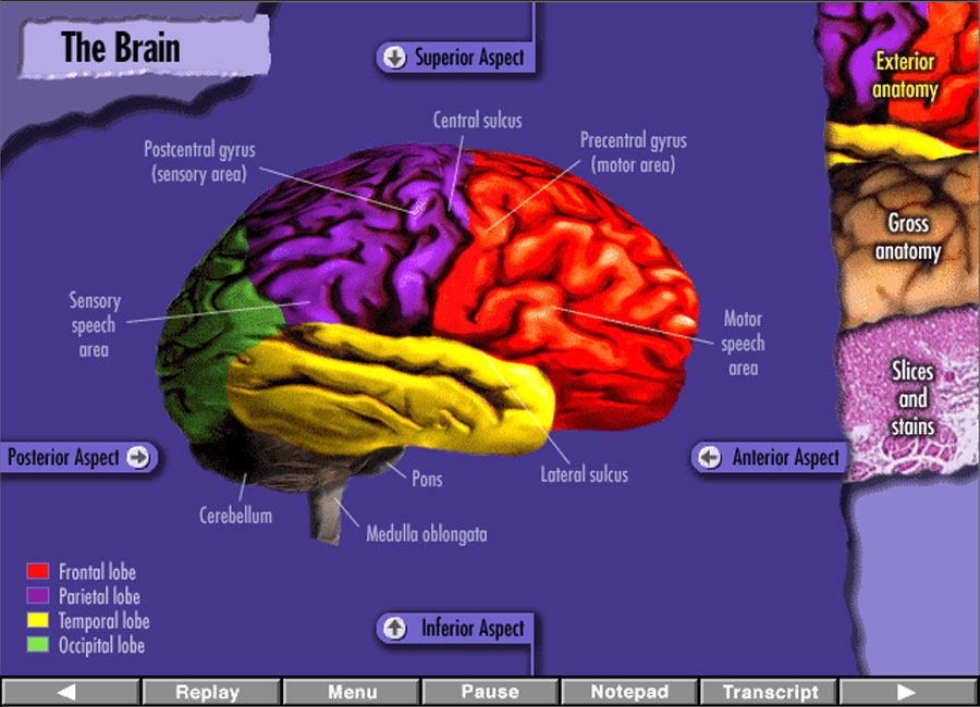 Brain anatomy interactive